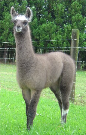 Please Enjoy This Picture of a Llama